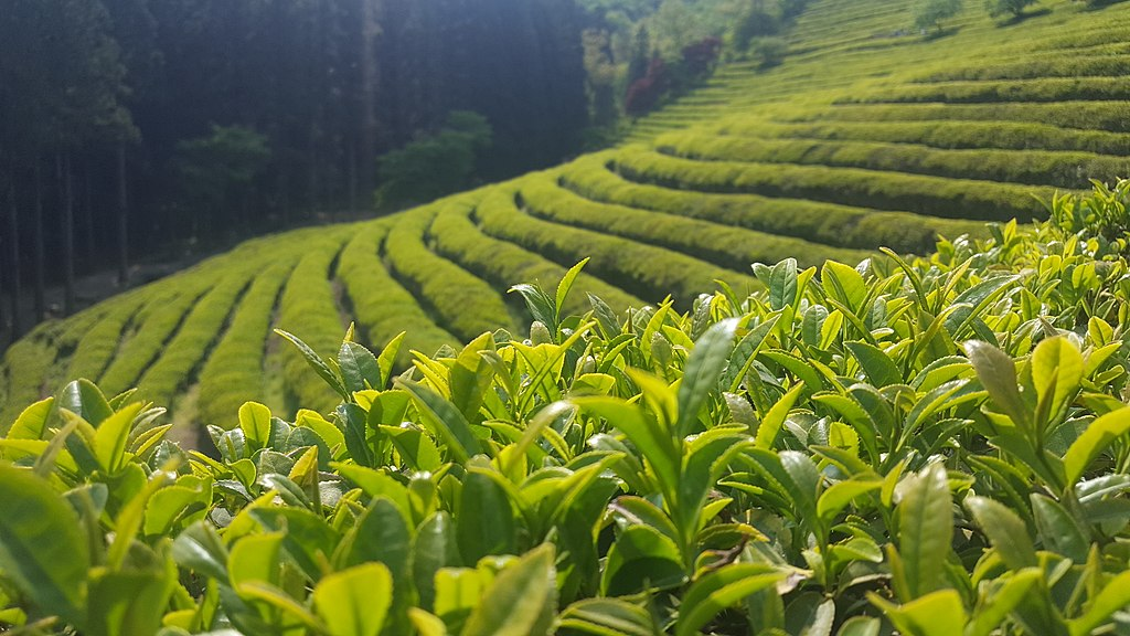 Green tea is made