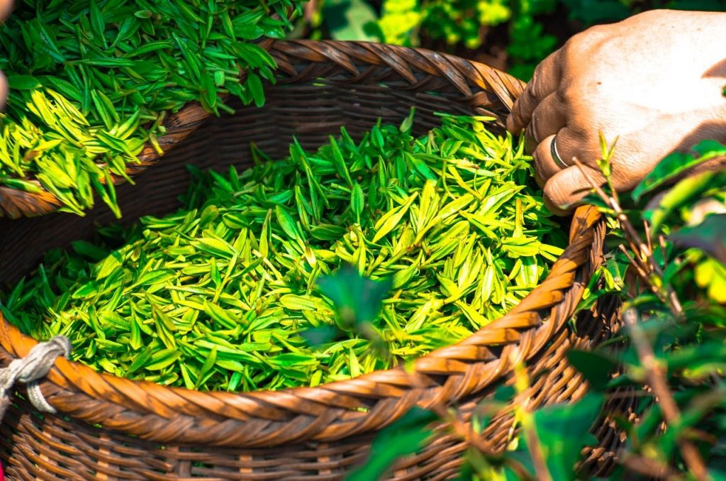 Green tea cultivation